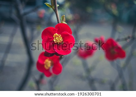 Closeup of two red Japanese plum blossom tree ume flower petals blooming in mid February hanami spring festival  Stock photo ©
