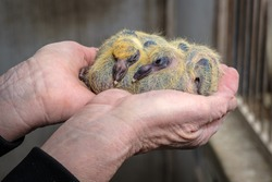 Closeup of two seven days old baby racing pigeons chicks sleeping in the hands of the pigeon fancier