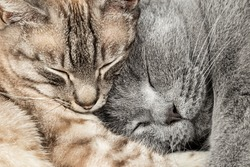 closeup of two  sleeping cuddling cats together thai siam and british shorthair pet couple