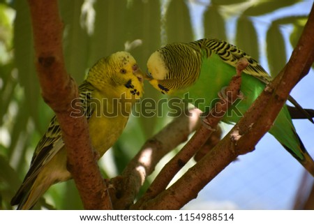 Stock Photo Closeup of two small green kissing budgies sitting on a tree branch