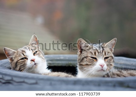 Closeup of two tabby cats sleeping in their tyre nest