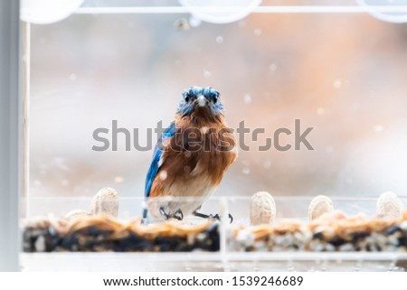 Closeup of wet blue bluebird bird sitting perched on dirty plastic window feeder perch on rainy day eating mealworms in Virginia #1539246689