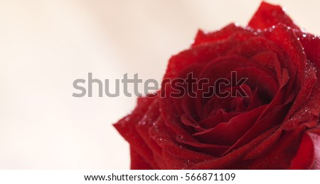 Stock Photo closeup of wet red rose with copy space, 4k photo