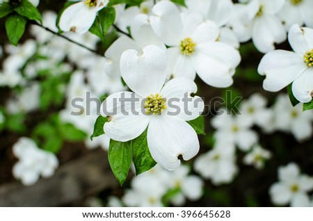 Closeup Of White Dogwood Flowers In Spring Ez Canvas