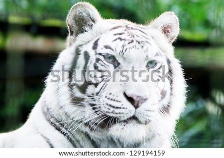Closeup of white lion head looking alert with fur detail #129194159
