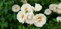 Closeup of white musk roses against green foliage background