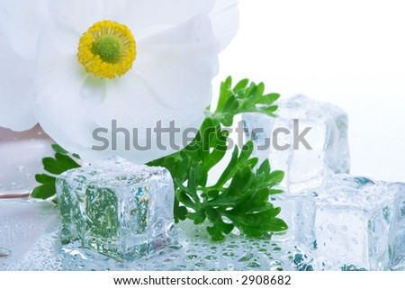 Closeup of white ranunculus flower on wet reflection surface and azure colored ice cubes melted in water for cocktail