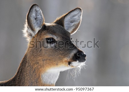 Closeup of white-tailed deer