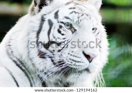 Closeup of white tiger face showing fur detail and stripes