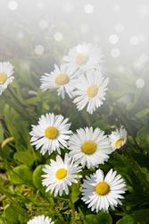 Closeup of wild daisy flowers. Romantic White daisy flower at sunny summer day.