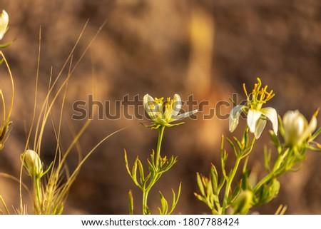 closeup of wild rue, Syrian rue,African rue , esfand or harmel flower bud Photo stock ©