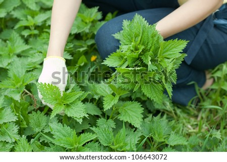 Closeup of woman gathers nettle in spring garden - stock photo