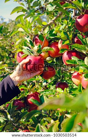 Closeup of woman hands as she pics fresh apples from the apple tree