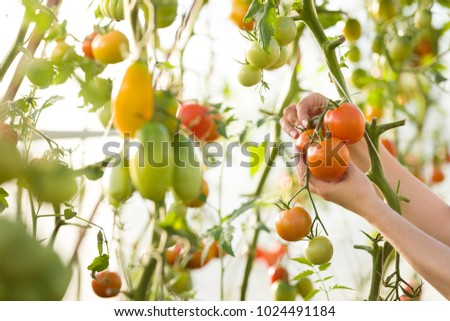 Closeup of woman's hands harvesting fresh organic tomatoes in her garden on a sunny day. Farmer Picking Tomatoes. Vegetable Growing. Gardening concept