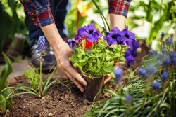 Closeup of woman's hands planting violet flower into the ground in her home garden helping with a trowel. A gardener transplant the plant on a bright sunny day. Horticulture and gardening concept