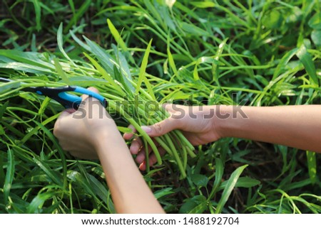 Closeup of woman's hands with scissors cutting fresh organic chinese morning glory in family's farm in sunny morning, prepare for healthy food. Show natural, simple, self-reliance way of life.