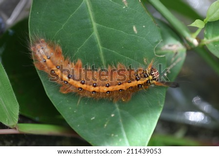 Closeup of woolly bear caterpillar