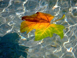 Closeup of yellow, brown, and green color autumn maple leaf floating on top of blue water in shallow fountain. white reflections. late summer and early fall scene. fall colors concept. bright lights