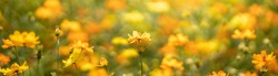 Closeup of yellow Cosmos flower on blurred green background under sunlight with copy space using as background natural flora landscape, ecology cover page concept.