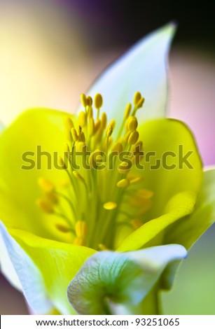 Closeup of Yellow Daffodil