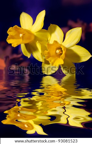 Closeup of yellow daffodil or narcissus flowers touching blue water