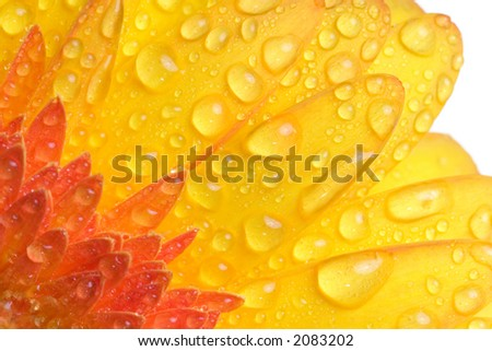 Closeup of yellow daisy with water droplets