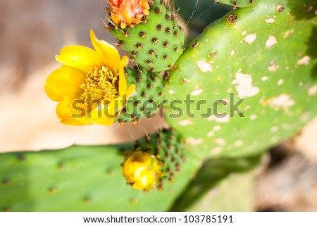 Closeup of yellow Opuntia ficus-indica flowers
