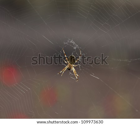 Closeup of yellow spider hanging head down on spiderweb in Arizona state, USA/Macro of Spider Hanging Upside Down in Spiderweb, with morning sun back-light/Little spider hangs upside down in web