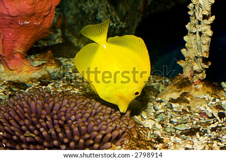 closeup of yellow tang fish (Zebrasoma flavescens), also called Pacific tang