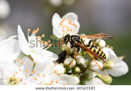 Closeup of yellow wasp on the blossom