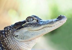 Closeup of Young Alligator with Out of Focus Background