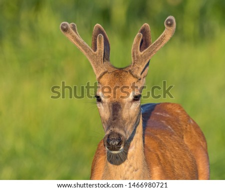 Closeup of young buck white-tailed deer with velvet antlers on a summer morning  #1466980721