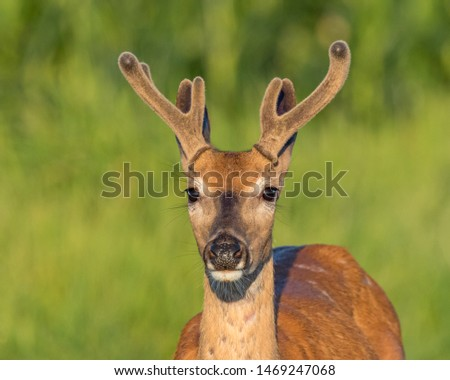 Closeup of young buck whitetail deer with velvet antlers on a summer morning #1469247068