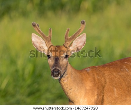 Closeup of young buck whitetail deer with velvet antlers on a summer morning #1469247920
