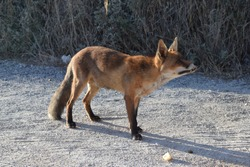 Closeup of young red-fox (Vulpes vulpes) with overgrown fangs. Fur has the traditional orange colour with dark paws