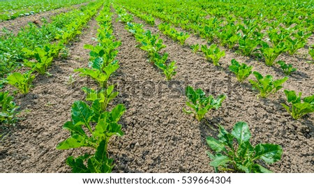 Closeup of young sugar beet plants in converging long lines growing in the recently cultivated soil of a Dutch polder. It is a sunny day at the beginning of the summer season.