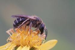 Closeup on a a female banded sweat bull-headed furrow bee, Lasioglossum zonulum on a yellow flower of common ragwort , Senecio Jakobaea