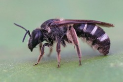 Closeup on a a wed female furrow banded sweat bee, Lasioglossum zonulum on a green leaf