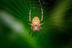 Closeup on a cross spider, also called european garden spider, diadem spider or pumpkin spider