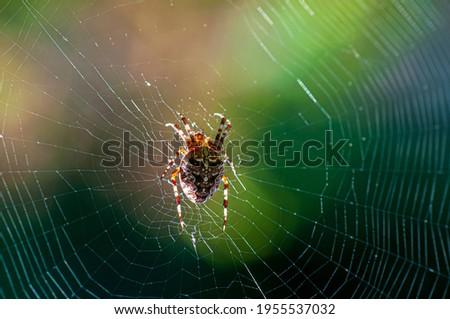 Closeup on a cross spider, also called european garden spider, diadem spider or pumpkin spider Photo stock ©