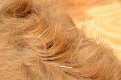 Closeup on a lightbrown longvoated dog's loin with acupuncture needles.