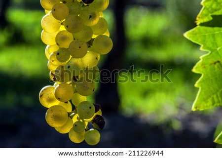 closeup on a young grapevine in a french vineyard Stockfoto ©