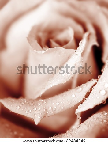 Closeup on beautiful fresh pink rose with morning dew - stock photo