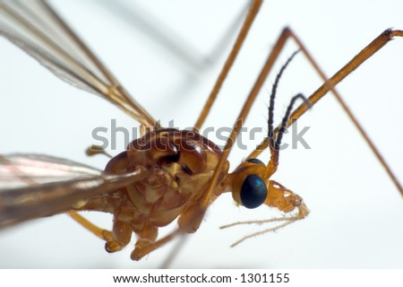 Closeup on crane fly