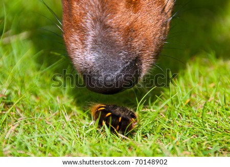 Closeup on Curious Dog's Nose Sniffing Furry Fiend Worm