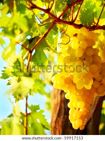 Closeup on grape bunch growing in a sunny garden with selective focus