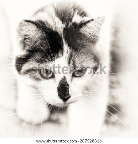 Closeup on head cat. This domestic animal walking slowly. Black and white fine art outdoors portrait of mixed-breed cat.