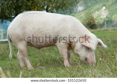 Closeup on pig eating