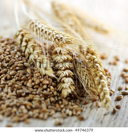 Closeup on pile of organic whole grain wheat kernels and ears