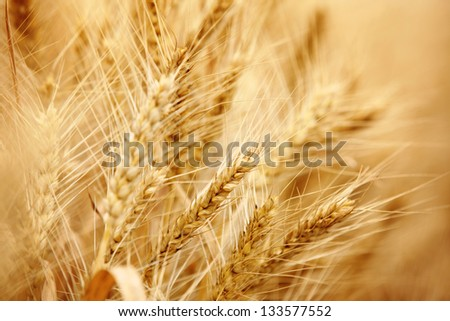 Closeup on ripe wheat